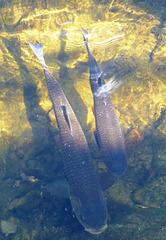 Fische in der Ahr