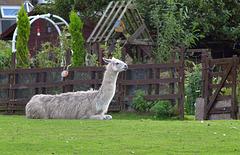 HFF Llama.