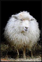 19-02-2015 Chinese New Year: The Year of the sheep...