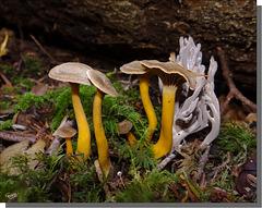 Cantharellus tubiformis