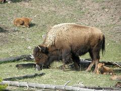 Buffalo Family at Yellowstone