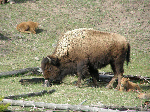 Buffalo Family at Yellowstone