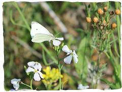 papillon-fleur
