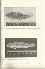 lucena   lucena gobiidae 1