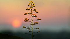 Fleur d'Agave...!