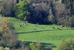 Fin de confinement pour les vaches