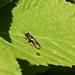 Maple Hurst Wasp