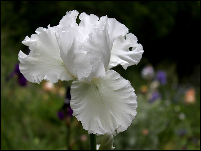 Iris blanc 3 (1)