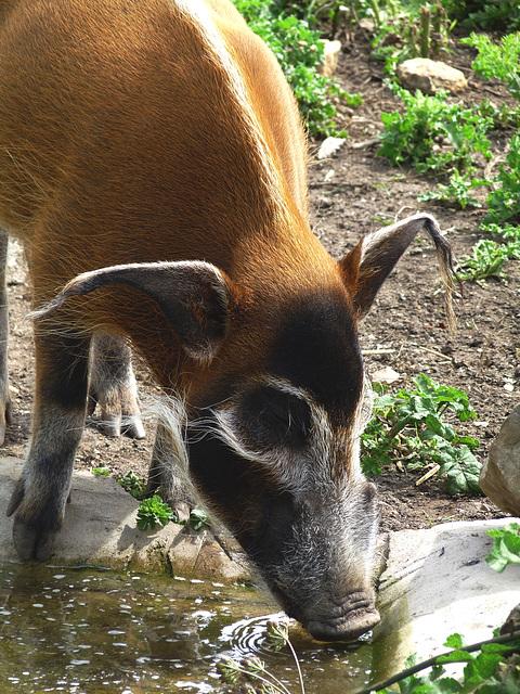 Red River Hog Drinking