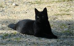 Black Sphinx !