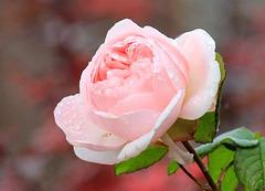 Rose de Noël, rescapée