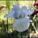 Iris blanc 3 (2)