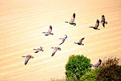 Canada Geese fly past Ewe Down in the Cuckmere Valley - 15.9.2016