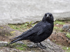 Carrion Crow ever hopeful