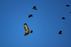 Buzzard with a mob of Jackdaws