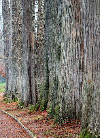 Alignement de séquoias