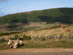 Cows by the roadside.