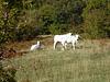 die weißen Kühe in Canfaito