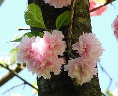 Cerisier du Japon...
