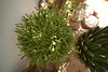 Euphorbia kaput medusae