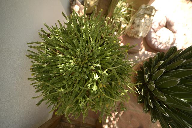 Euphorbia kaput medusae  DSC9469