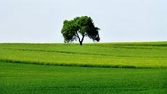 DE - Bad Neuenahr - Solitary tree