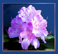 Rhododendron in full bloom... ©UdoSm