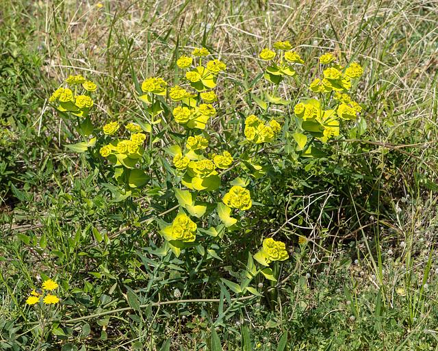 Euphorbia spec. - 2015-04-20--D4 DSC0245