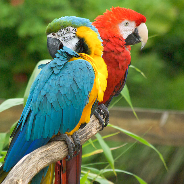 Macaw Parrots at Jurques Zoo