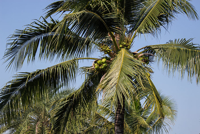 Coconuts blowing in the wind
