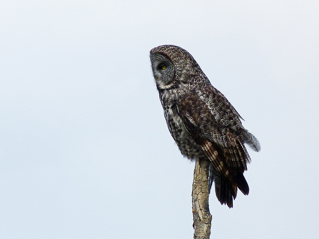 Great Gray Owl from 2012