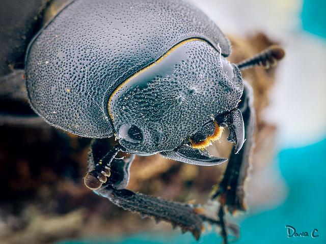 Stag Beetle Portrait
