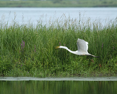 50/50 grande aigrette-great egret