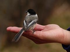 Black-capped Chickadee on Judy's hand
