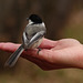 Black-capped Chickadee on Judy's hand