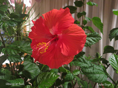 Hibiscus en fleur !