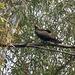 Delhi- Black Kite