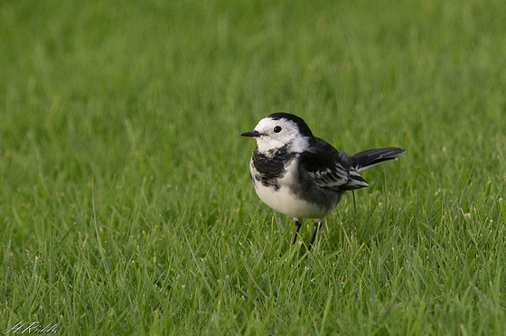 Pied Wagtail (adult)