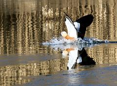 Landung auf dem Wasser  (Rostgans)