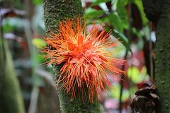 IMG 4462 BROWNEA SP Botanical garden -Hilo- Big island -Pepeekeo
