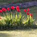 Coup de vent sur la tulipe
