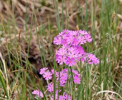 Mehlprimeln - Primula farinosa
