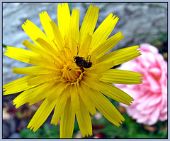 Insect on Dandelion.