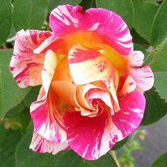 Le retour des roses / Roses are back!!!!