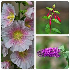 Hollyhocks, Fuschia, Buddleia