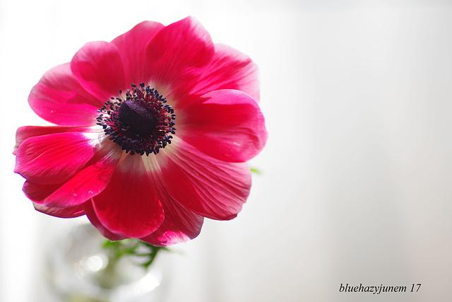 Anemone ~ Macro ~