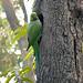 Delhi- Parakeet