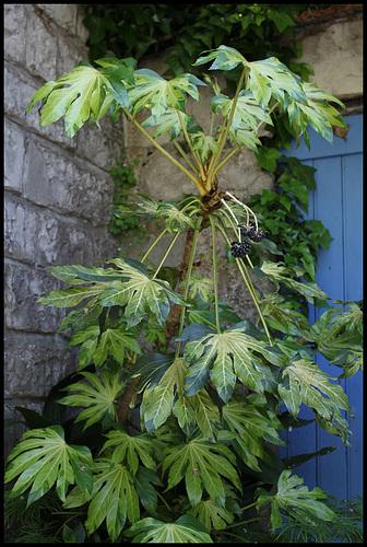 Fatsia japonica (1)
