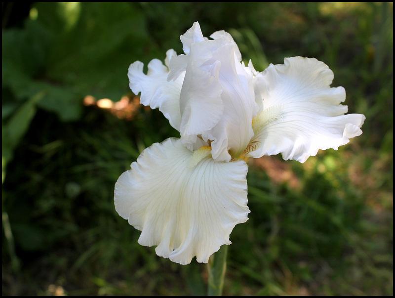Iris blanc 3 (4)