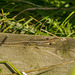 A common lizard taking in the sun